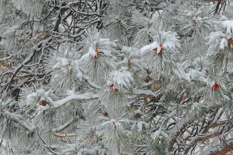 &quot;THEN THE BOUGH BREAKS&quot;<br /> <br /> Ponderosa Pine laden with fresh snow.