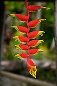 Héliconia Rostrata, Nouvelle-Calédonie