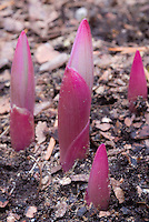 Polygonatum odoratum var. pluriflorum 'Variegatum'  new emerging young red pink growth in spring