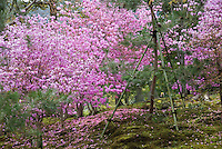 Banks of pink cherry blossom are interspersed with pine tress in the 14th century Zen garden at Tenryu-ji Temple, Kyoto
