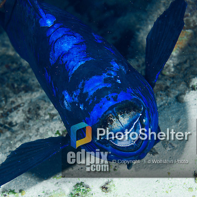 28 January 2016:  A Midnight Parrotfish (Holocentrinae) swims on the reef at Captain Don's Habitat in Bonaire. Bonaire is known for its pioneering role in the preservation of the marine environment. A part of the Netherland Caribbean Islands, Bonaire is located off the coast of Venezuela and offers excellent scuba diving, snorkeling and windsurfing.  Mandatory Credit: Ed Wolfstein Photo *** RAW (NEF) Image File Available ***
