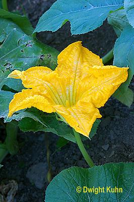 HS24-559z  Pumpkin male flower