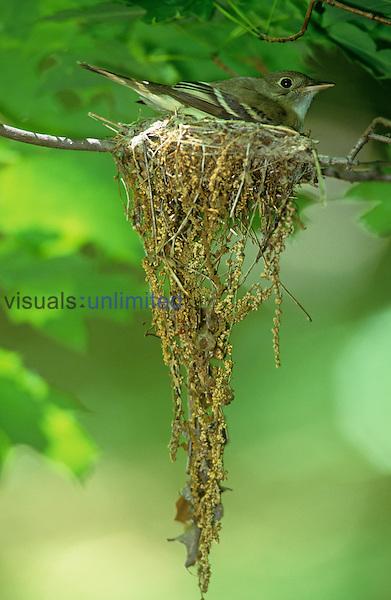 Acadian Flycatcher on its nest, Ohio, USA