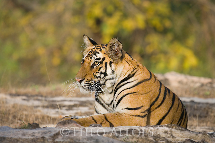 17 months old Bengal tiger cub (male) resting on rock in open area, early morning, dry season