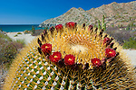 Coville's barrel cactus, Baja, Mexico