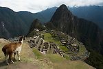 Machu Picchu Inca Ruins, with Llama,  Lama glama, Mount Huayna Picchu in background, Sacred Urubamba Valley, Andes, Peru, sacred, temple, andean, mountain. .South America....