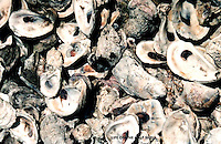RAW OYSTERS ON THE HALF SHELL,SHELLS,OYSTER SHELLS