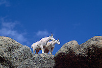 Mountain Goat Billy and Nanny (Oreamnos americanus), aka Rocky Mountain Goats, standing on Rocky Cliff, Cathedral Provincial Park, BC, British Columbia, Canada