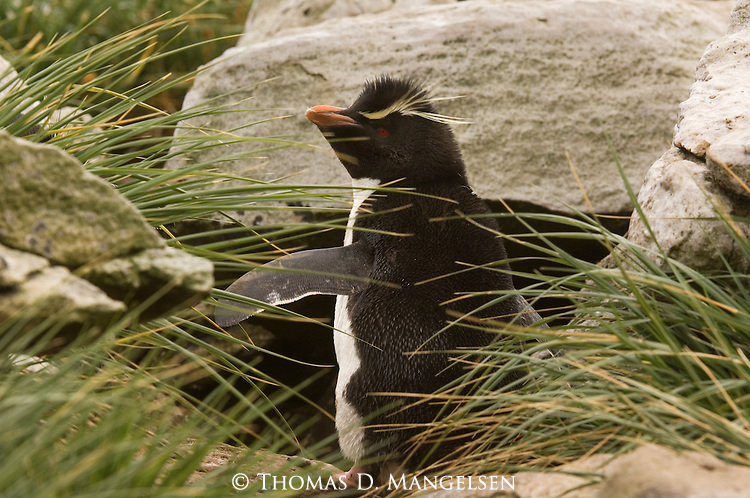 A rockhopper penguin among the tussock grass and rocks of West Point Island in the Falkland Islands.