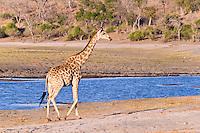 South African Giraffe, Chobe Riverfront, Botswana