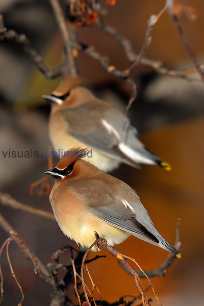 Cedar Waxwings (Bombycilla cedrorum) perched in Crab Apple Tree, New Hampshire, USA.