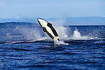 A Killer Whale (Orcinus orca) breaching in Strait of Georgia, British Columbia, Canada. The big splash is from another orca that also breached.