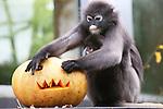 Foto: VidiPhoto<br /> <br /> ARNHEM - Halloween in Burgers' Zoo in Arnhem. De brillangoeren in het dierenpark mochten vrijdag hun herfstverrassing aan noten en kastanjes uit griezelig uitgesneden pompoenen halen. Na een korte aarzeling vanwege het vreemde uiterlijk van hun 'voedselbak' kreeg de begeerte naar de lekkernijen toch de overhand. Behalve dat de Arnhemse dierentuin hiermee inspeelt op de tijd van het jaar, is het op een alternatieve wijze aanbieden van voedsel ook bedoeld als gedragsverrijking.
