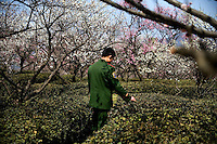 An Army soldier stands in a field of plum trees during the Nanjing International Plum Blossom Festival at Zijin Shan outside of Nanjing, China.  Zijin Shan is known as Purple Mountain or Purple-Gold Mountain in english.