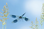 Banded Demoiselle Damselfly, Calopteryx splendens, Male, In flight, free flying, High Speed Photographic Technique.United Kingdom....