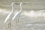Sanibel Lighthouse Beach, Sanibel Island, Florida; two Snowy Egrets (Egretta thula) stand in the shallow surf zone near the fishing pier © Matthew Meier Photography, matthewmeierphoto.com All Rights Reserved