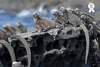 Marine Iguanas (Amblyrhynchus cristatus) on rock, side view (Licence this image exclusively with Getty: http://www.gettyimages.com/detail/200482554-001 )