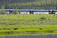 Grizzly bear along the Trans Alaska Oil Pipeline in the Brooks Range, Alaska