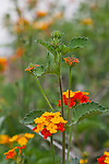 Texas lantana, Lantana horrida, blooms spring to fall, Texas.  Blooms provide nectar for hummingbirds and butterflies, Seeds are food for birds,