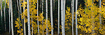 Yellow leaves stand out from the dark background and white aspen trunks in Uncompahgre National Forest, Colorado.