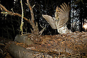 Male Ruffed Grouse (Bonasa umbellus) drumming display.