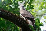 Harpy eagle, Panama