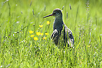 Redshank, Tringa totanus, Elmley Marshes, Kent, UK, backlight, in long grass by marsh