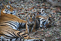 Bengal tigress with her two 4-5 months old cubs  in bamboo forest, April, dry season