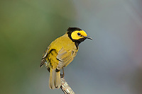591920004 a wild windblown male hooded warbler setophaga citrina - was wilsonia citrina - perches on a dead branch in hardin county texas united states