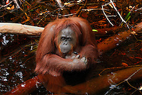 Borneo Orangutan female sitting in water (Pongo pygmaeus), Camp Leaky, Tanjung Puting National Park, Kalimantan, Borneo, Indonesia.