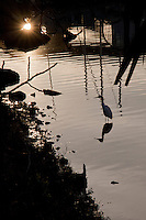 At sunset, a Snowy egret and its reflection wade near the Mission Creek shore in Huffaker Park.  San Francisco, CA.