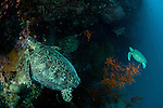 Four Green sea turtle (Chelonia mydas) looking for resting place on the reef.