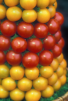 Tomatoes cherry types mixed, two different kinds: Serta and Golden Delight, red and yellow gold varieties picked and put in arrangement