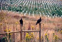 BIRDS<br /> Turkey Vulture<br /> Cathartes aura, Northern California