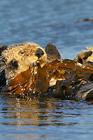 """Sea Otter (Enhydra lutris) pulling kelp over itself--""""tying up"""" in kelp keeps resting sea otter from drifting with the tide and currents.."""
