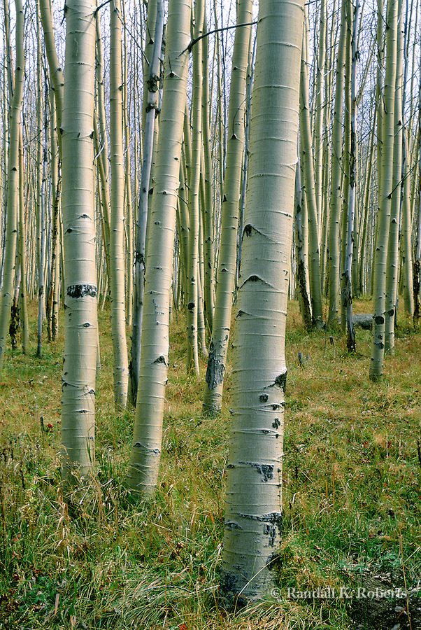 Trunks of aspen trees in autumn create an infinite pattern in Santa Fe National Forest, New Mexico