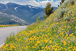 Wildflowers are abundant on Dunraven Pass in Yellowstone.