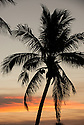 Palm tree and crescent moon at sunset in Jupiter, Florida.