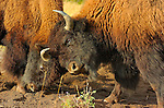 Bison, Young Males Fighting, Madison Junction, Yellowstone National Park, Wyoming