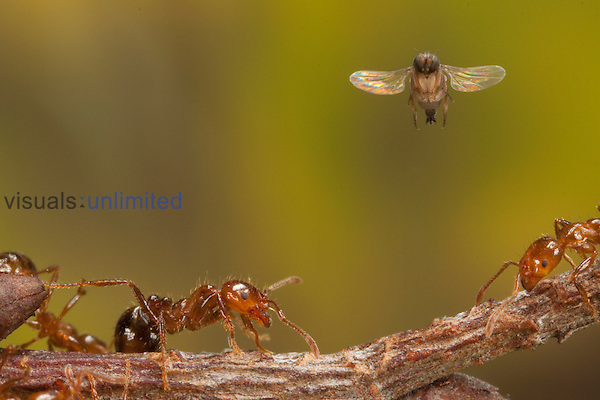 Phorid Fly or Fire Ant Decapitating Fly (Pseudacteon tricuspis) female flying to attack Red Imported Fire Ants (Solenopsis invicta), Texas, USA