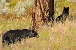 Black Bear Cubs, Elk Creek, Yellowstone National Park, Wyoming