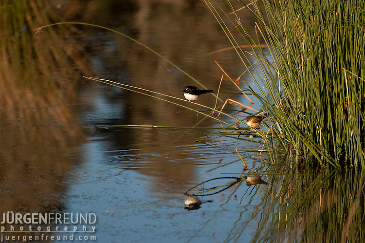 The Willie (or Willy) Wagtail (Rhipidura leucophrys) is a passerine bird native to Australia, New Guinea, the Solomon Islands, the Bismarck Archipelago, and eastern Indonesia. The Willie Wagtail is almost always on the move and rarely still for more than a few moments during daylight hours. Even while perching it will flick its tail from side to side, twisting about looking for prey.