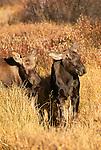 Moose calves, Grand Teton National Park, Wyoming