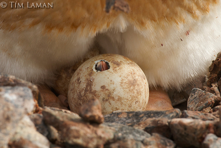 Gentoo Penguin (Pygoscelis papua) chick about to hatch egg that has a small opeing made by the chick.   Jougla Point, Wieneke Island.