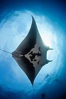 QT2445-D. Manta Ray (Manta birostris), and scuba divers. Baja, Mexico, Pacific Ocean.<br /> Photo Copyright &copy; Brandon Cole. All rights reserved worldwide.  www.brandoncole.com