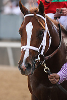 HOT SPRINGS, AR - March 18: Malacy perks his ears as he is walked on the track after he won the Rebel Stakes (Gr.2) at Oaklawn Park on March 18, 2017 in Hot Springs, AR. (Photo by Ciara Bowen/Eclipse Sportswire/Getty Images)