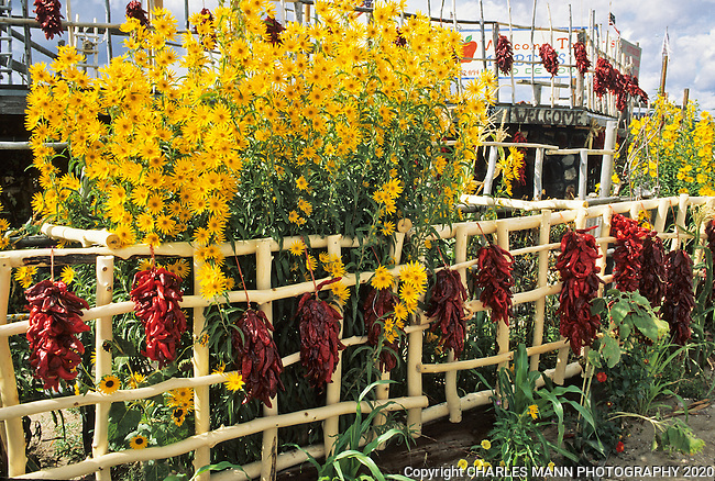 September brings the yellow flowers of Maximilian's Sunflowr and red chile ristras to northern New Mexico.