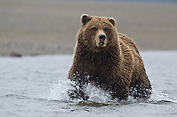 Alaskan brown bear chasing spawning salmon in Lake Clark National Park