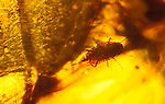 Insect fossil in amber