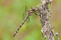 390030011 a wild arrowhead spiketail dragonfly cordulegaster obliqua perches on a stick at big creek scenic area jasper county texas united states